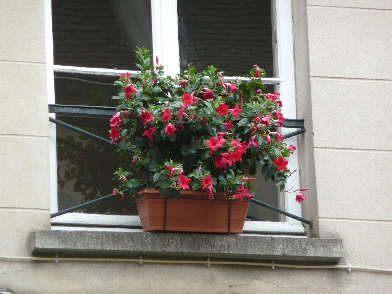 Jardinière de mandévillas rouges dans Paris
