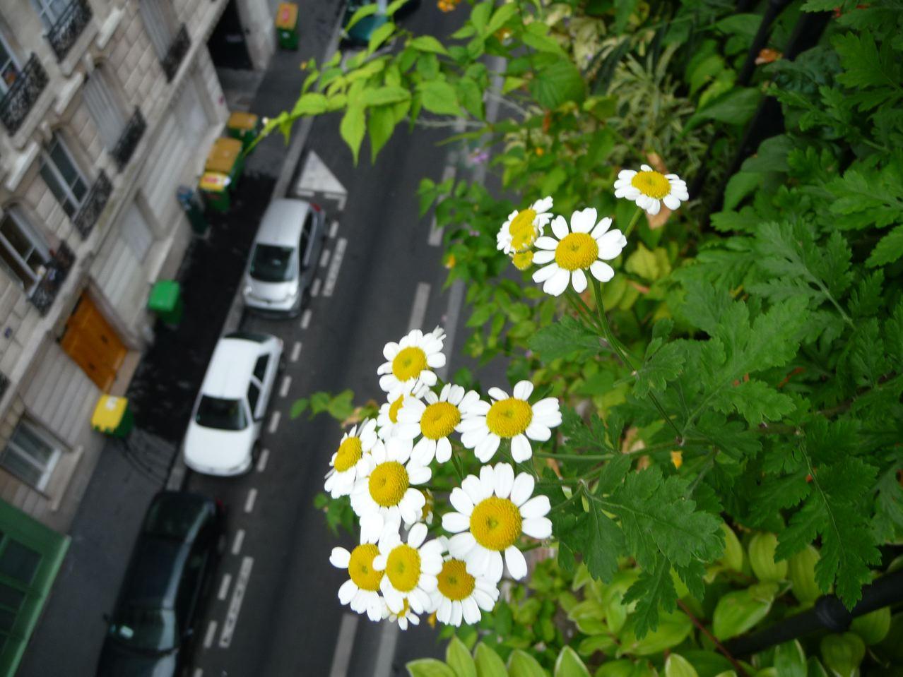 Plante vivace médicinale