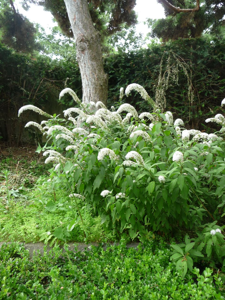 Plante vivace à floraison estivale