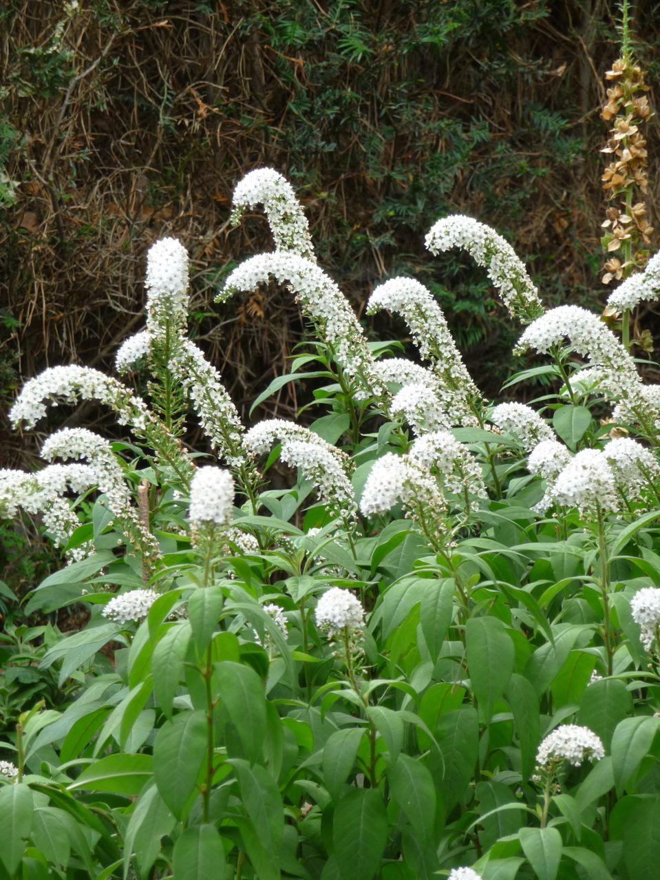 Plante vivace estivale