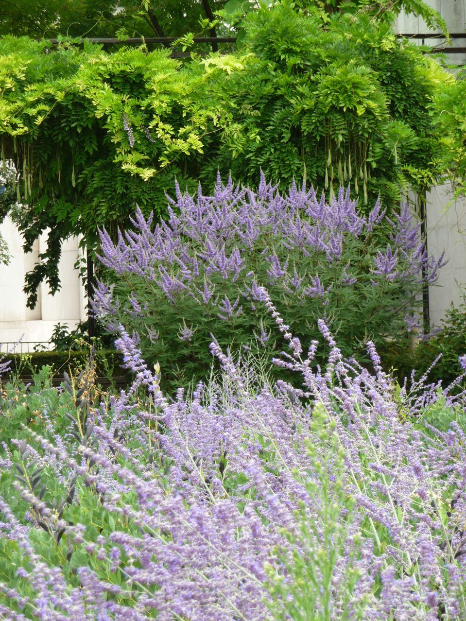 Arbustes à floraison estivale bleue