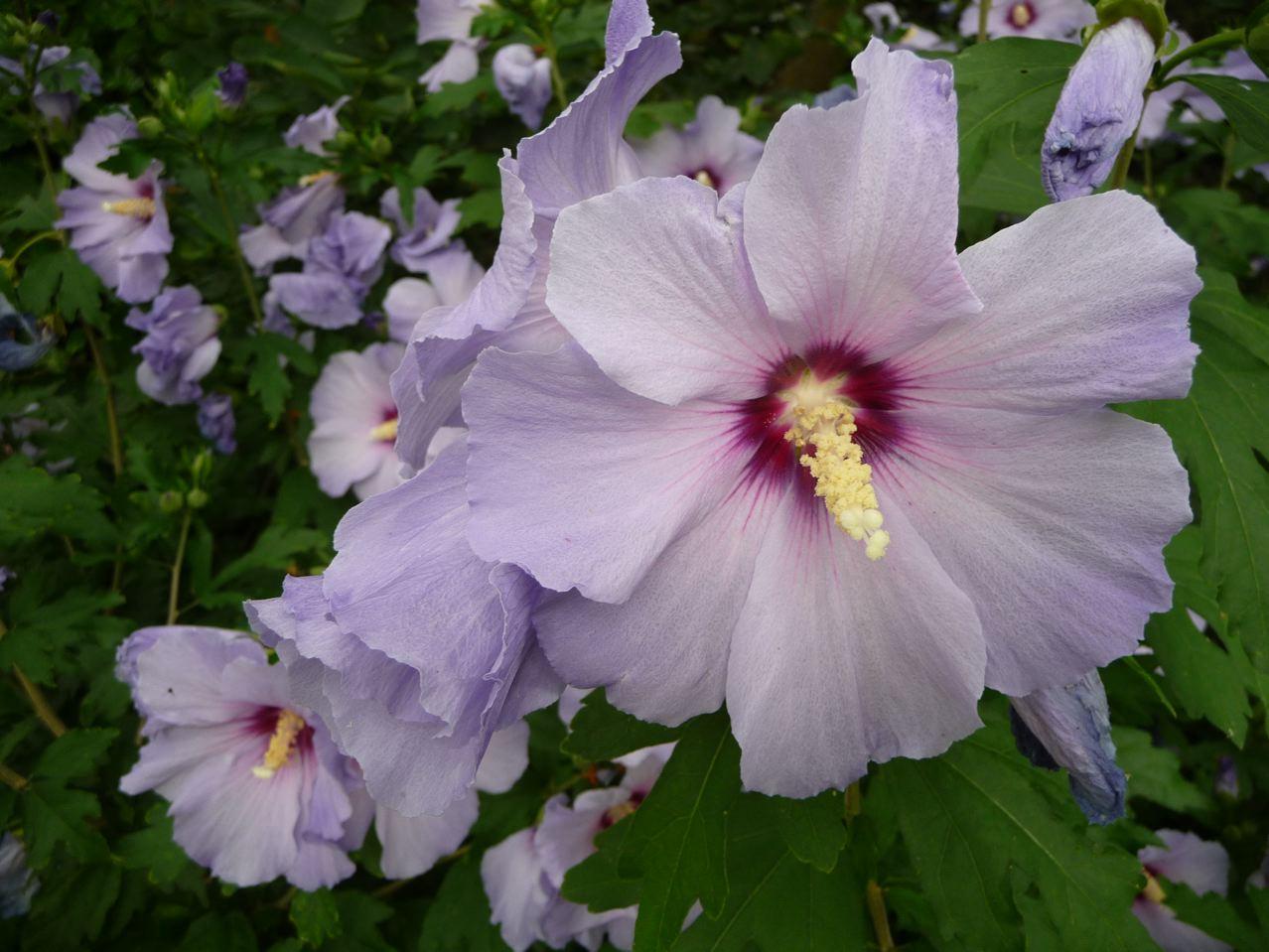 Arbuste à floraison estivale