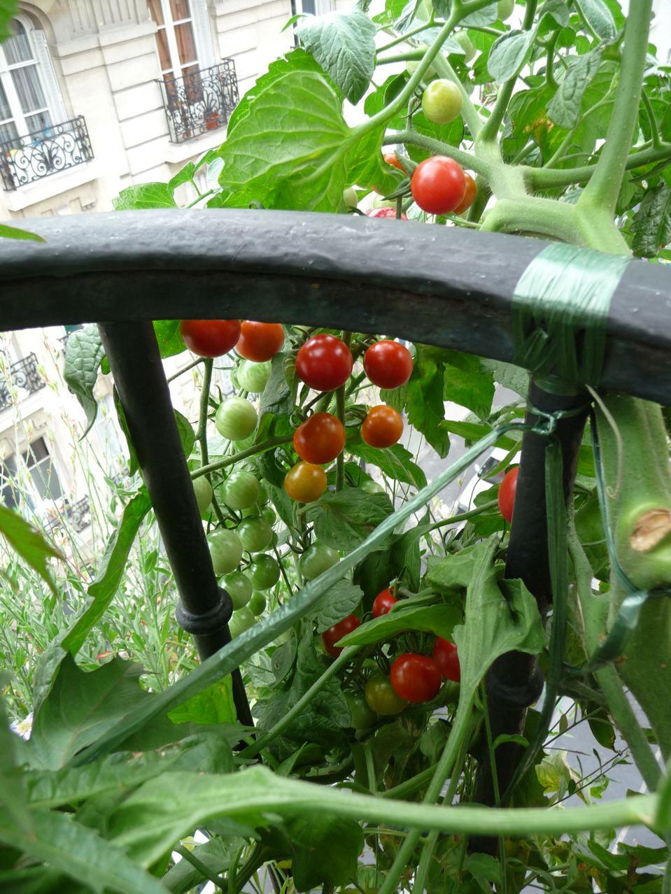 Légume en pot sur balcon parisien