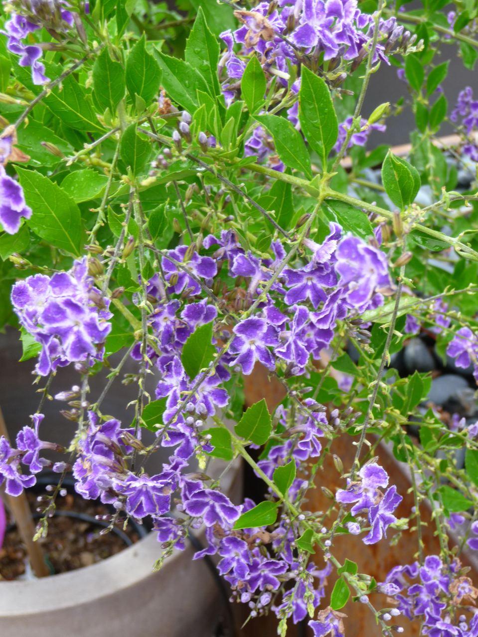 Plante exotique arbustive