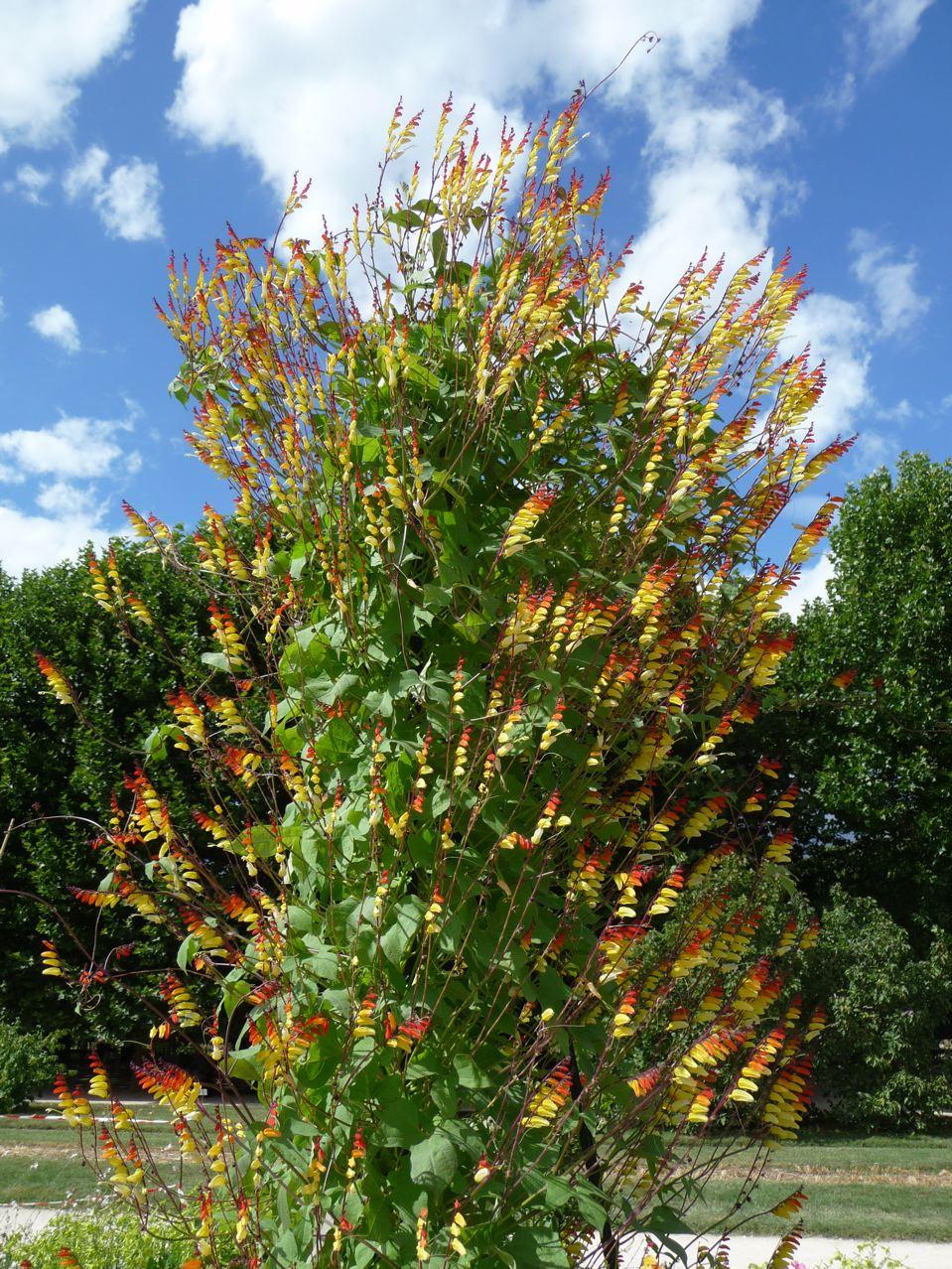 Plante grimpante exotique à floraison estivale