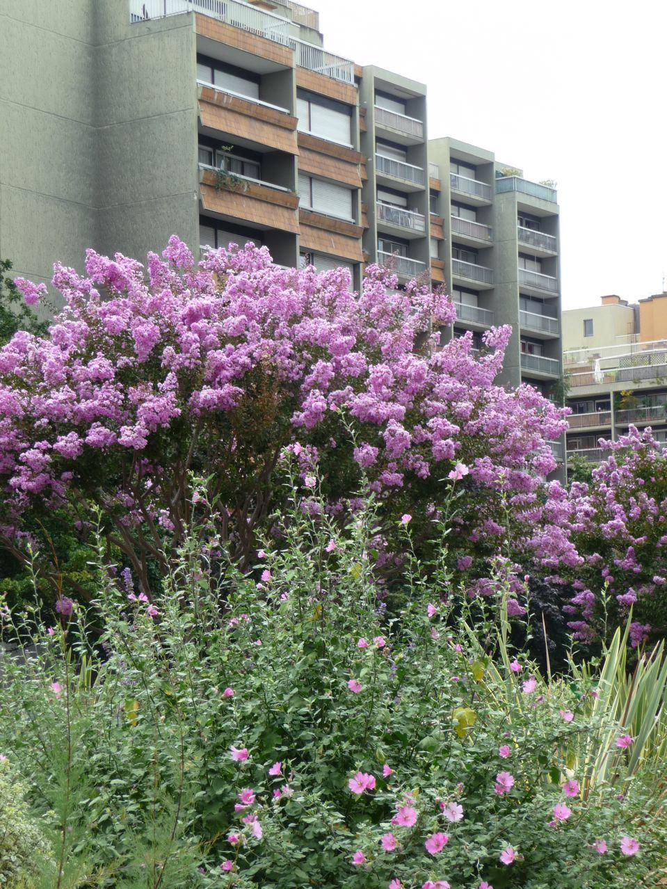 Arbres à floraison estivale