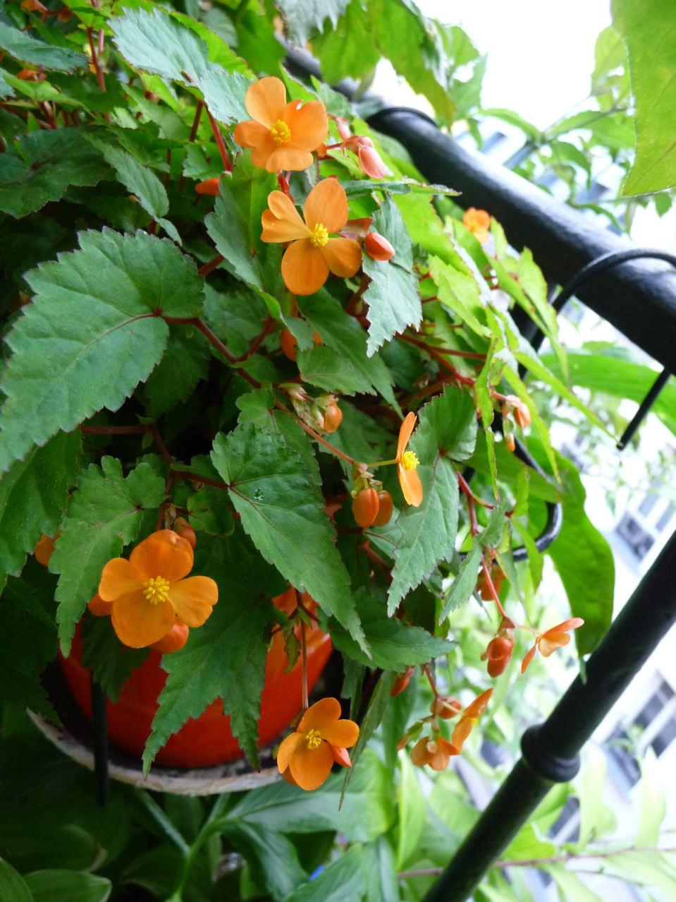 Potée fleurie de Begonia sutherlandii en été sur mon balcon