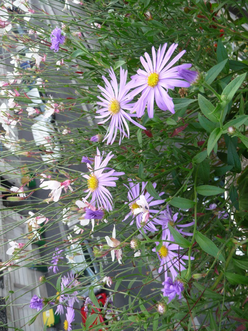 Plantes vivaces à floraison estivale