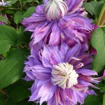 Plante grimpante à floraison estivale