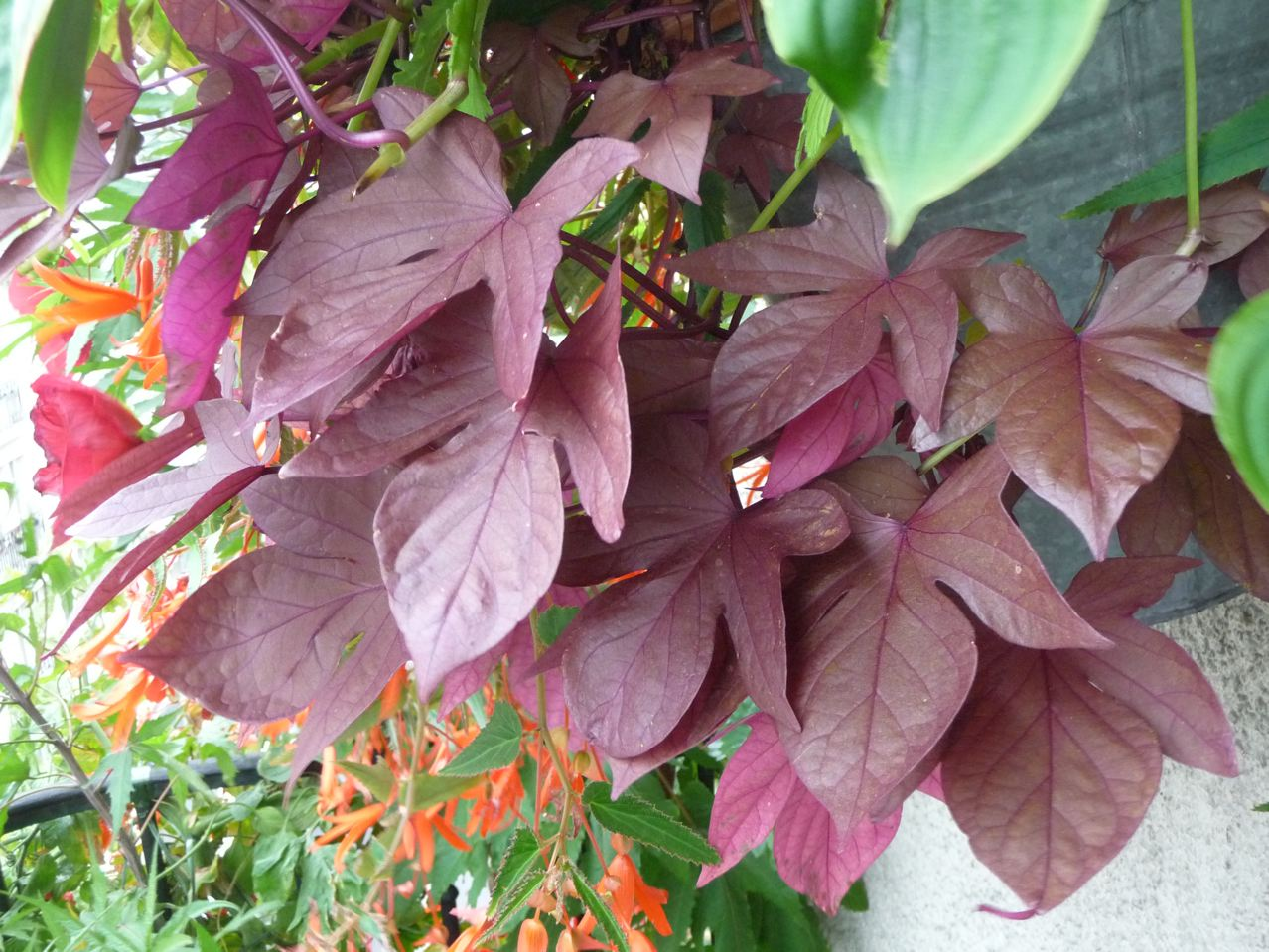 Plante bulbeuse à feuillage décoratif