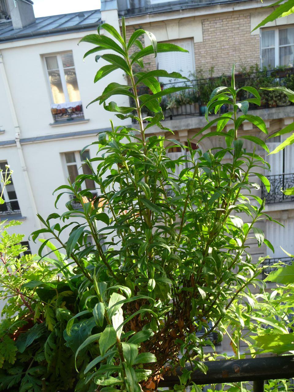 Plante aromatique à floraison estivale décorative