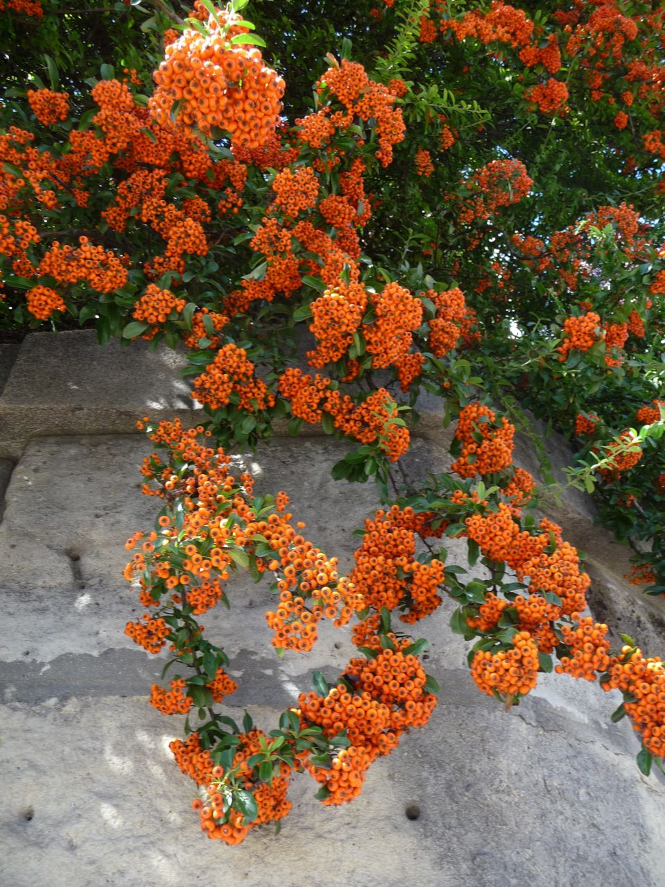 Arbuste à fruits décoratifs