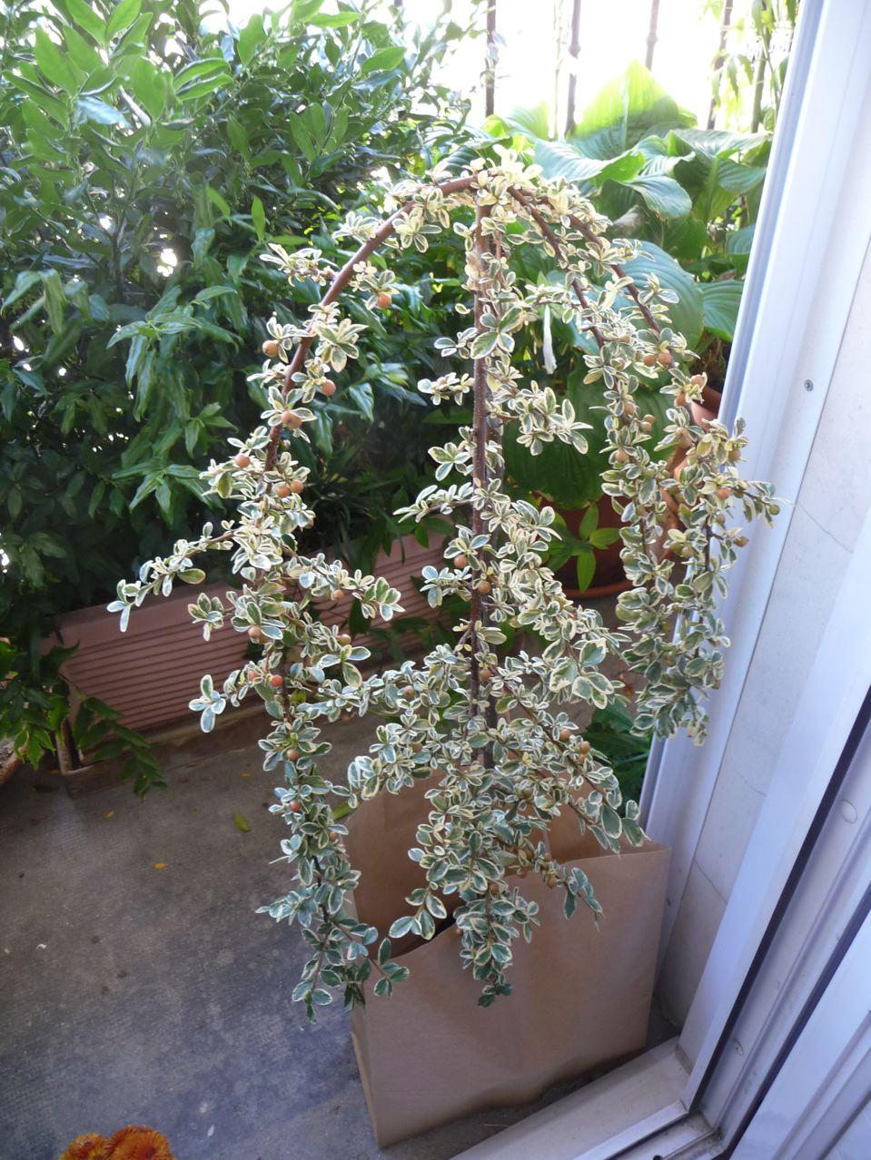 Arbuste d'ornement à feuillage panaché et fruits décoratifs