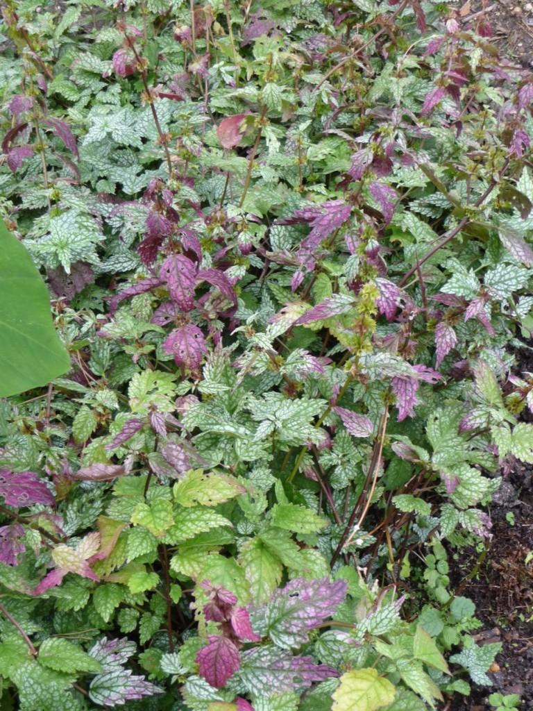 Plante vivace couvre-sol au feuillage décoratif