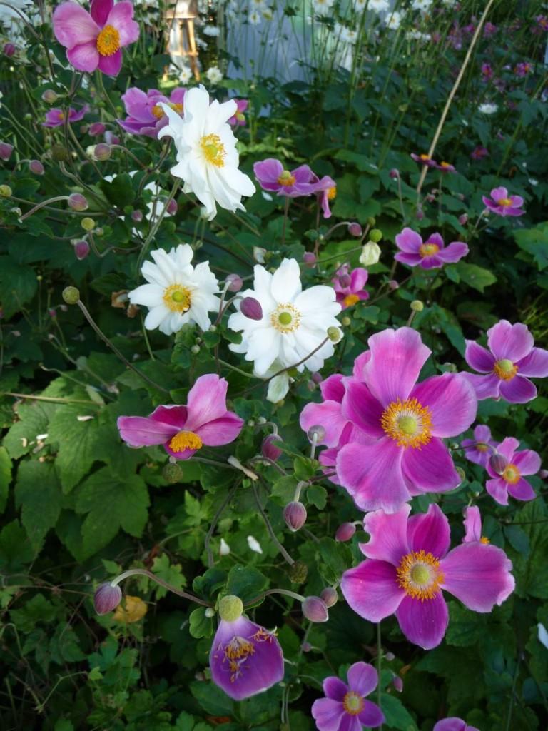 Plante vivace à floraison automnale