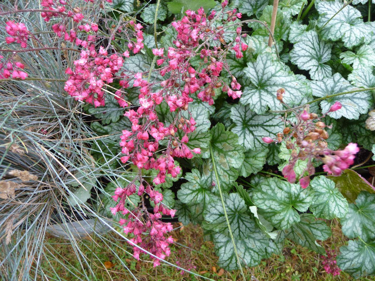 Plante vivace à feuillage et floraison décoratifs