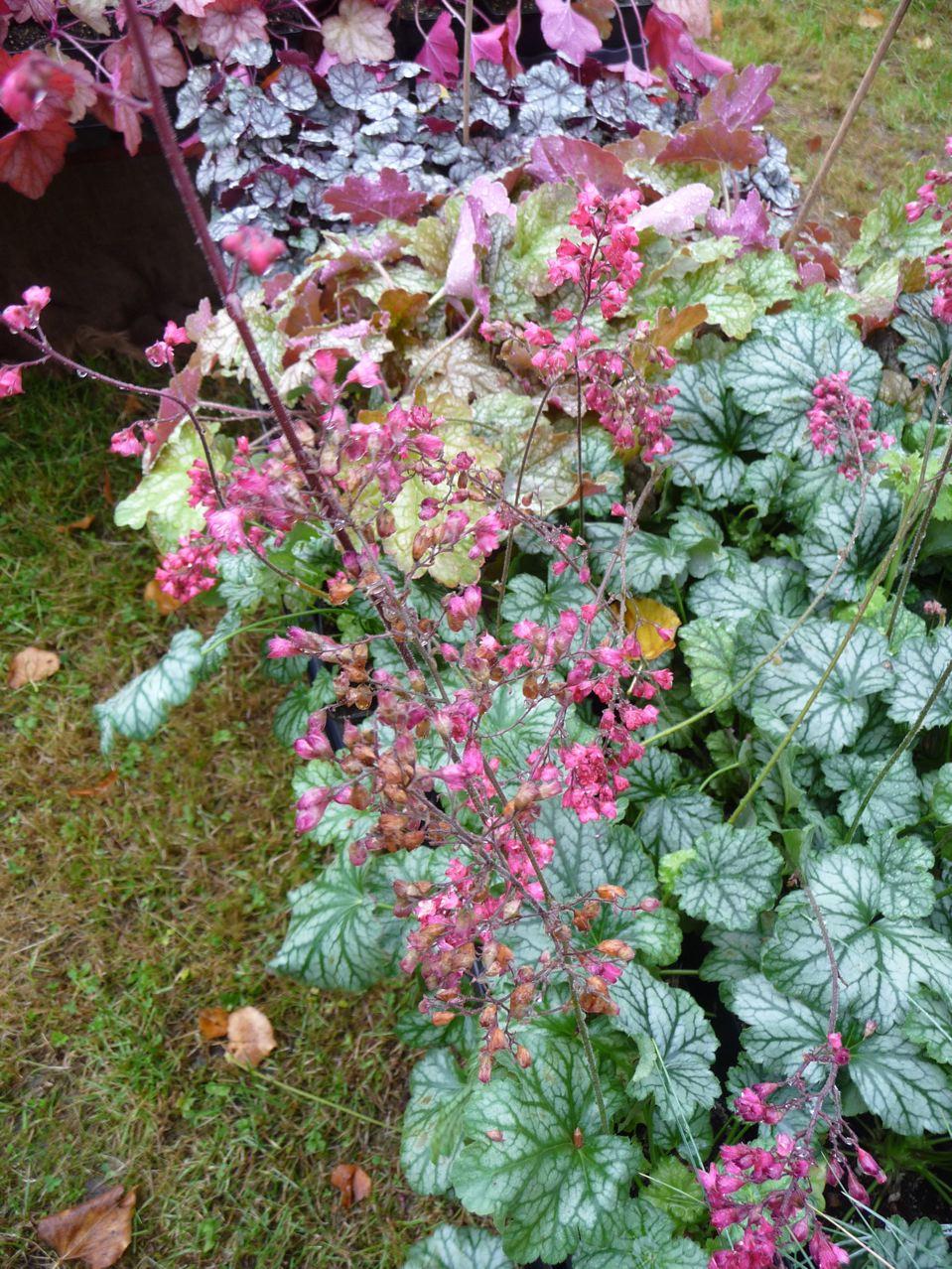 Plante vivace à floraison et feuillage décoratifs