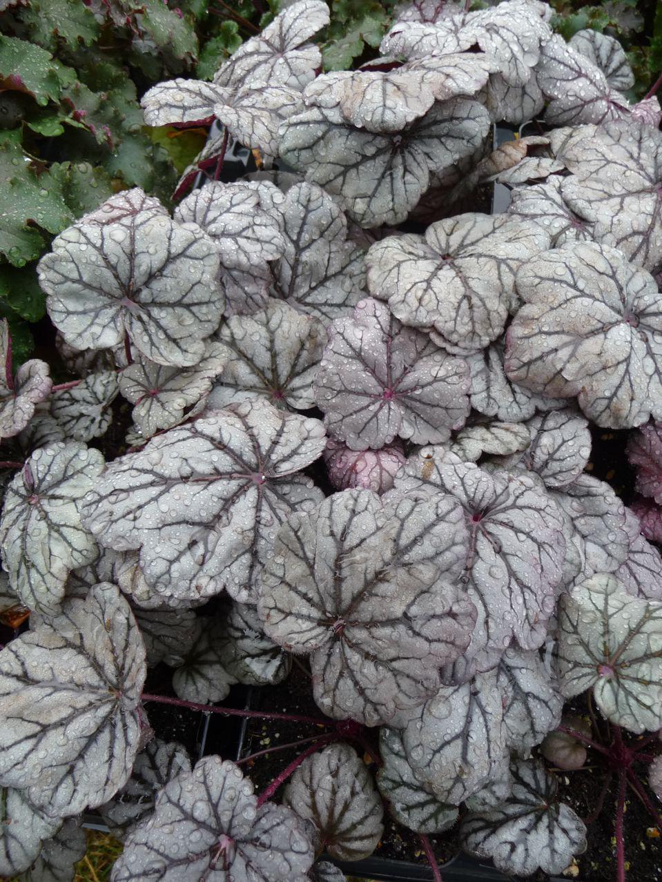 Plante vivace à feuillage décoratif argenté