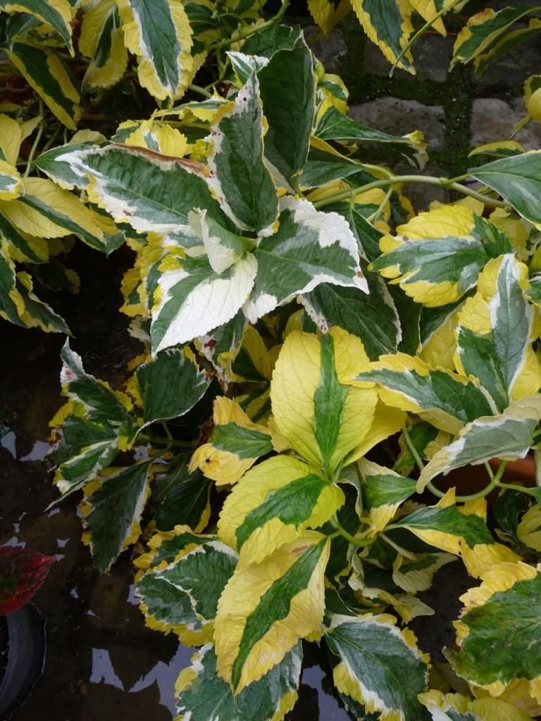 Arbuste à feuillage et à floraison décoratifs