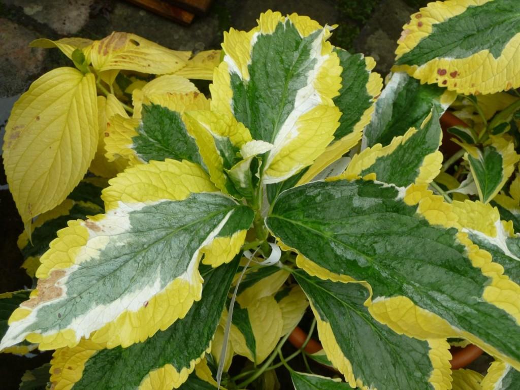 Arbuste à floraison et feuillage décoratifs