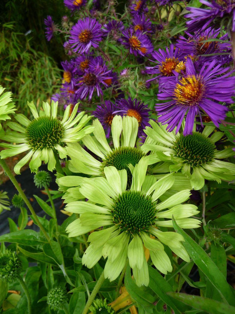 Plantes vivaces à floraison automnale
