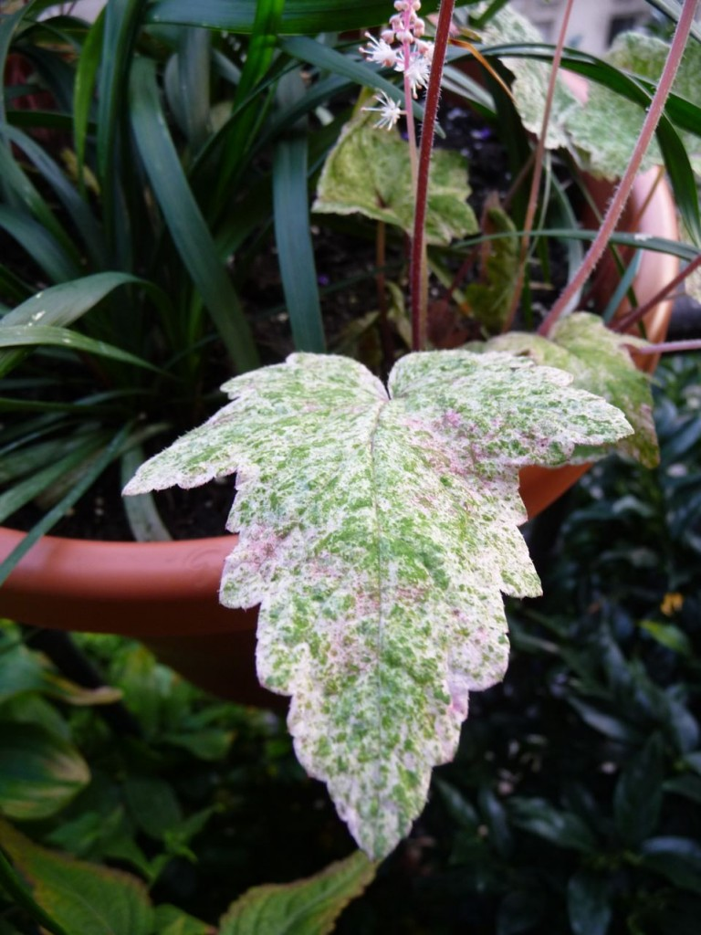 Plante vivace à feuillage panaché de blanc et de pourpre
