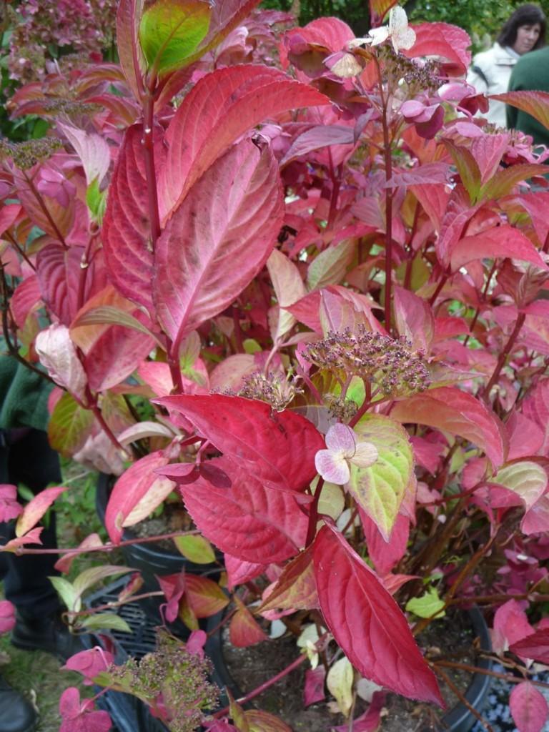 Arbuste à feuillage flamboyant en automne