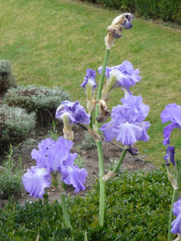 Iris des jardins à floraison remontante
