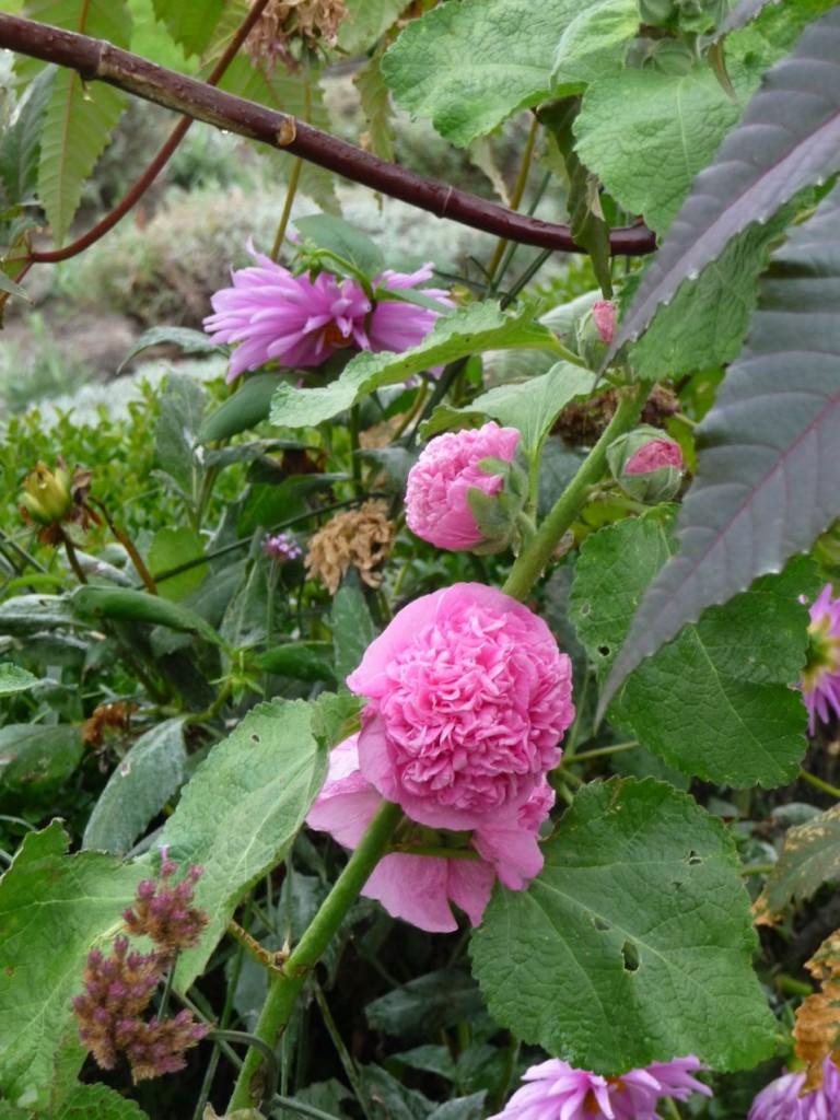 Plante vivace à floraison remontante