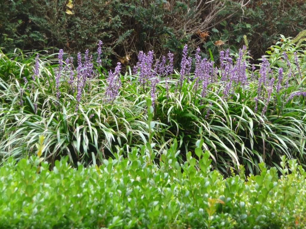 Plante vivace à floraison estivale et automnale