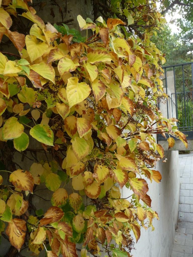 Plante grimpante en automne