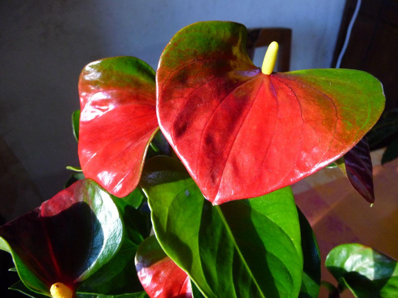 anthurium » paris côté jardin » page 2