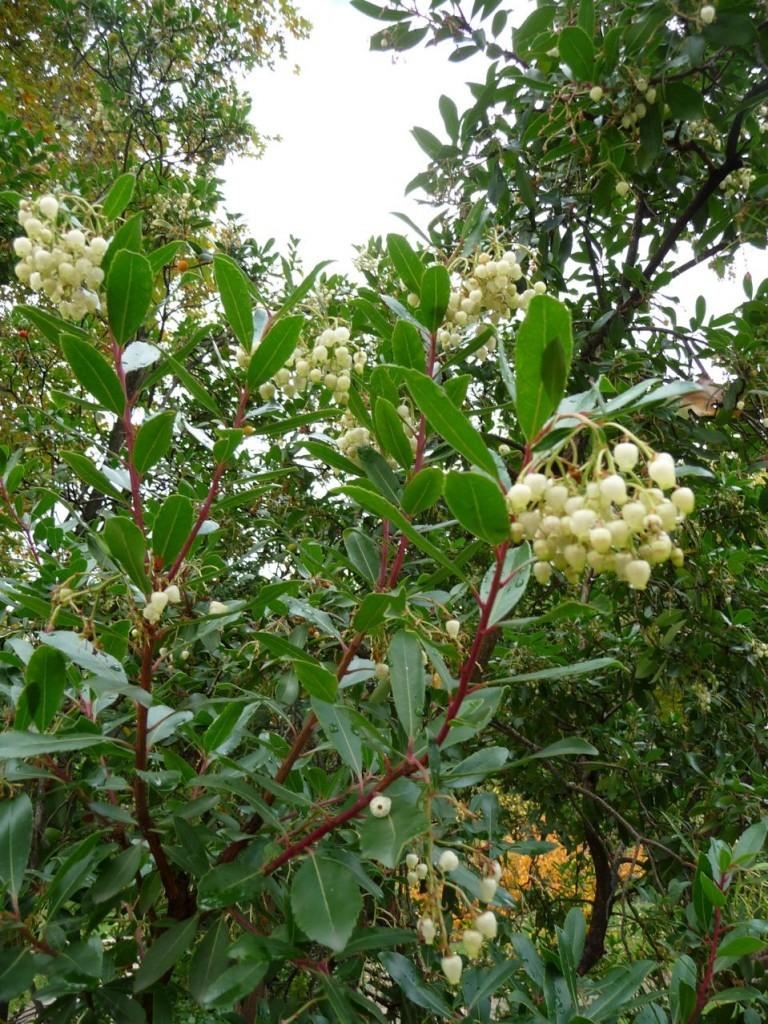 Arbuste d'ornement et à fruits