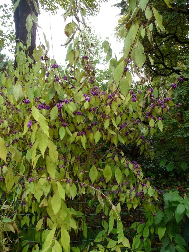Arbuste d'ornement à fruits décoratifs