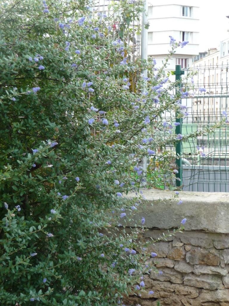 Arbuste d'ornement à floraison remontante