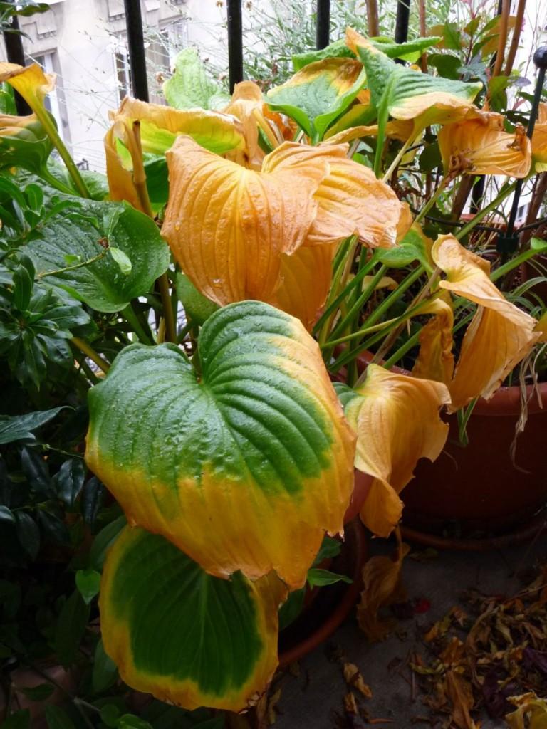 Feuillage d'automne de l'hosta à fleurs de lis (Hosta plantaginea 'Grandiflora')