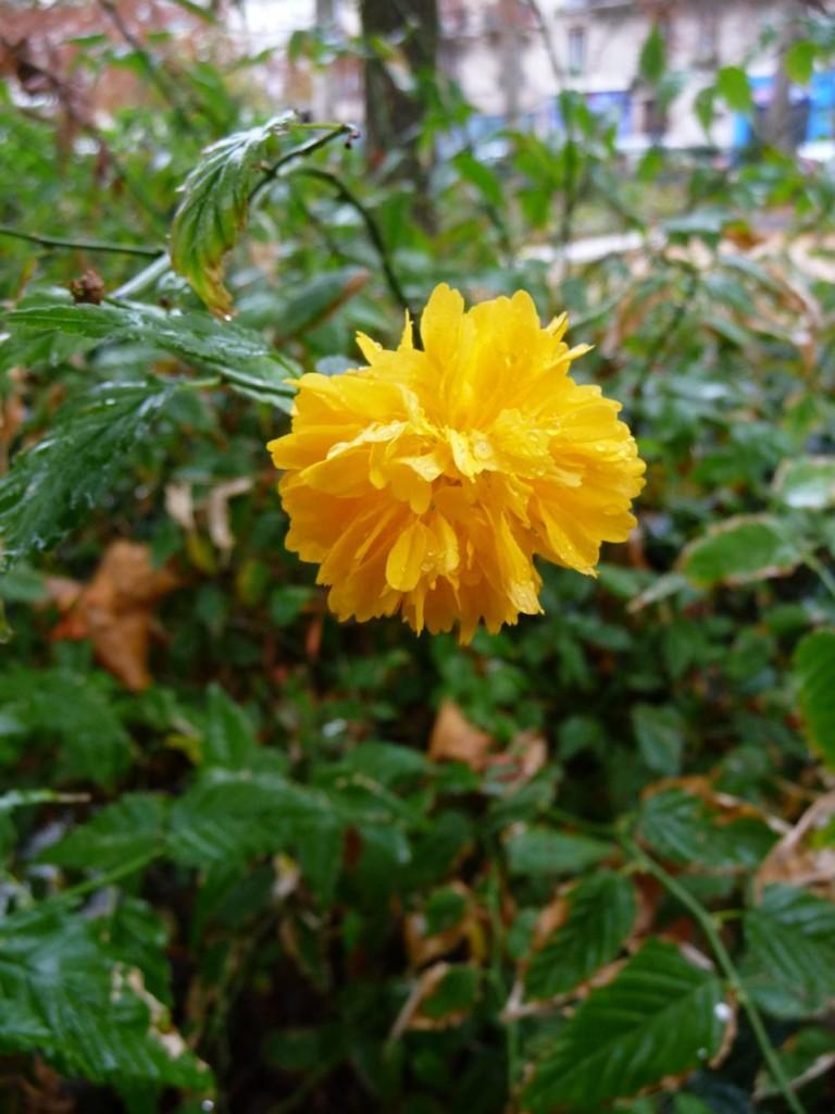 Arbuste à floraison printanière remontante jusqu'en automne
