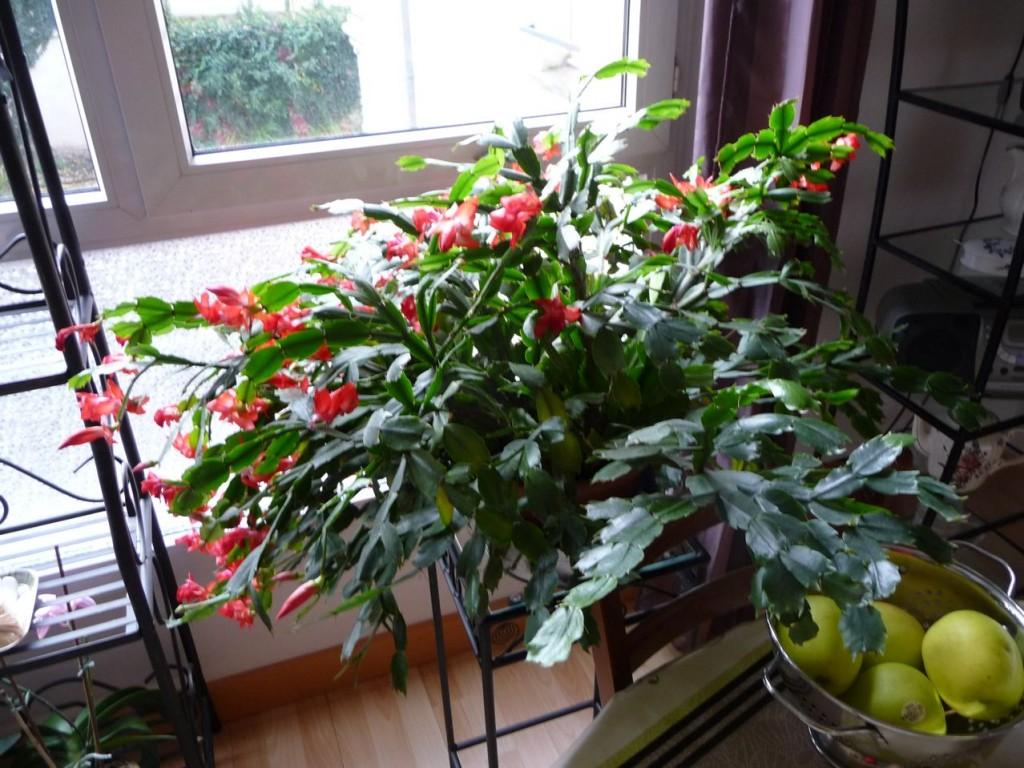 Plante succulente d'intérieur à floraison automnale