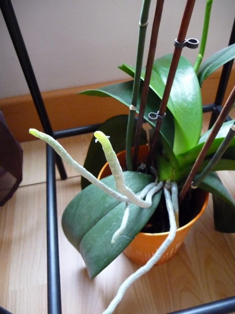Le phalaenopsis, une orchidée épiphyte