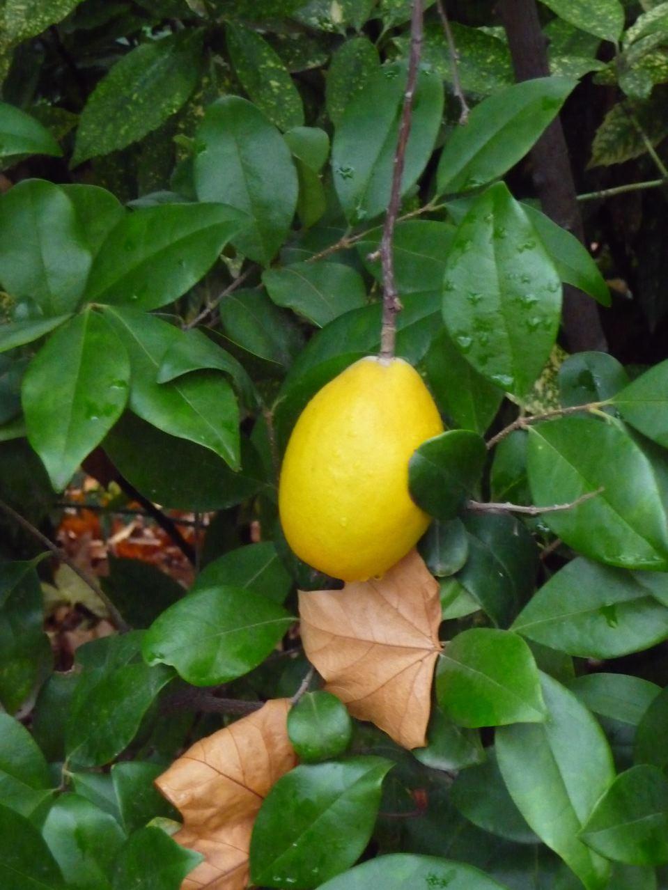 Fruit décoratif du cognassier du Japon, Chaenomeles japonica