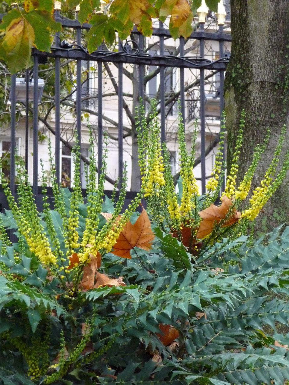 Arbuste à floraison automnale et hivernale