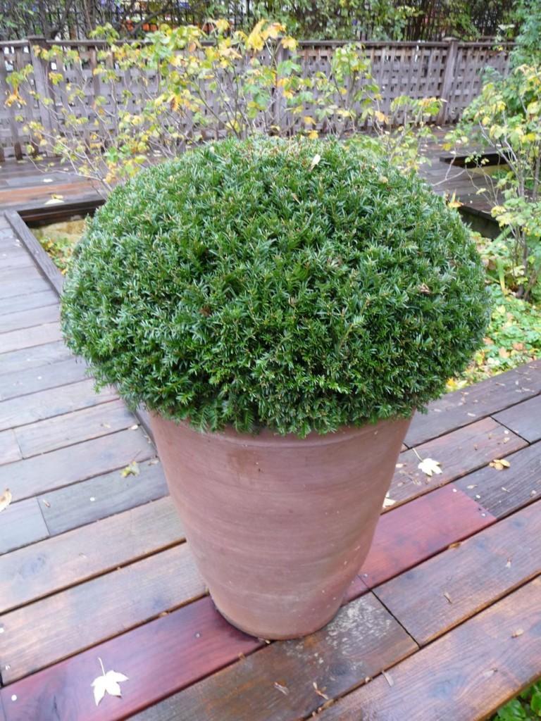 Boule d'if (Taxus baccata) en pot dans Paris