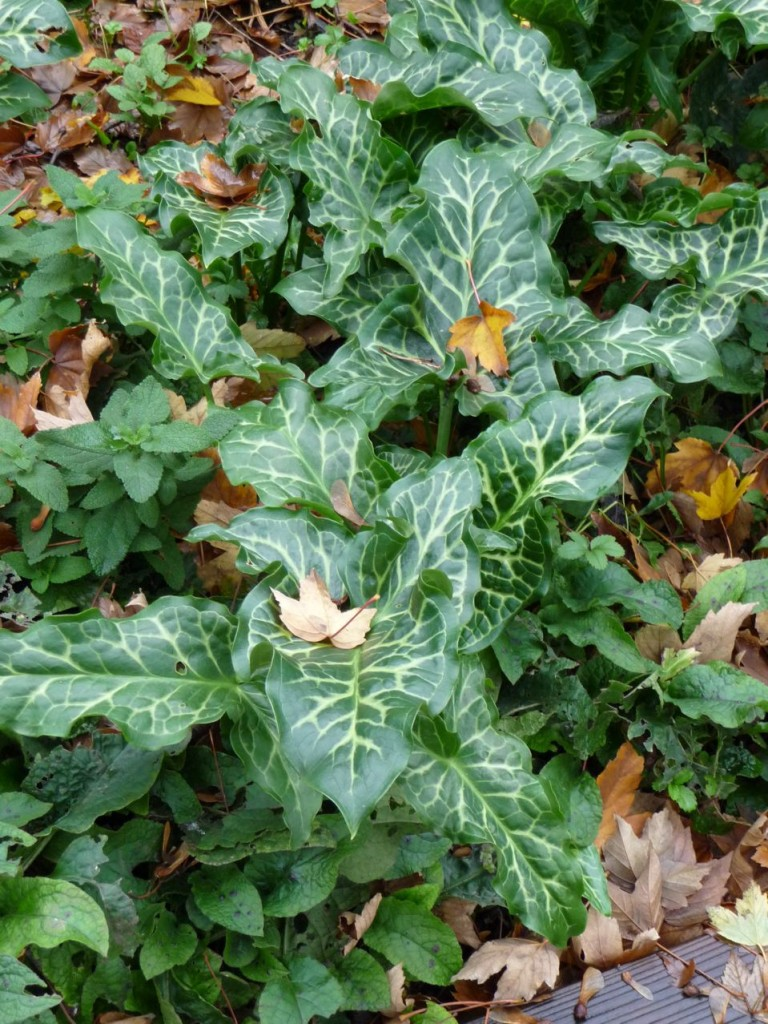 Plante bulbeuse à feuillage panaché