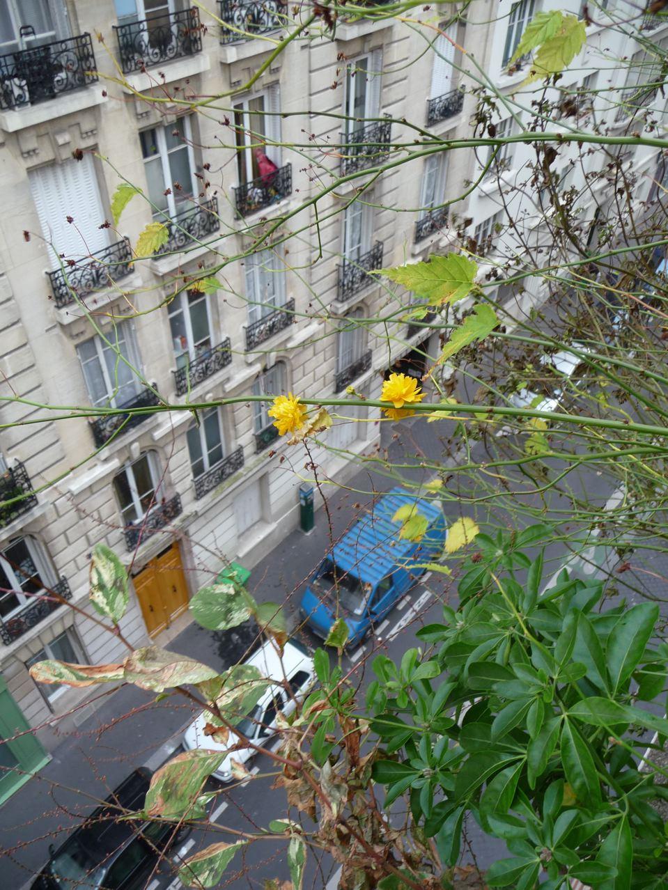 Floraison remontante de la corète du Japon sur mon balcon
