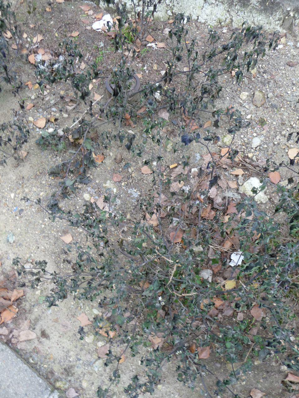 Mauvaise herbe en ville en hiver