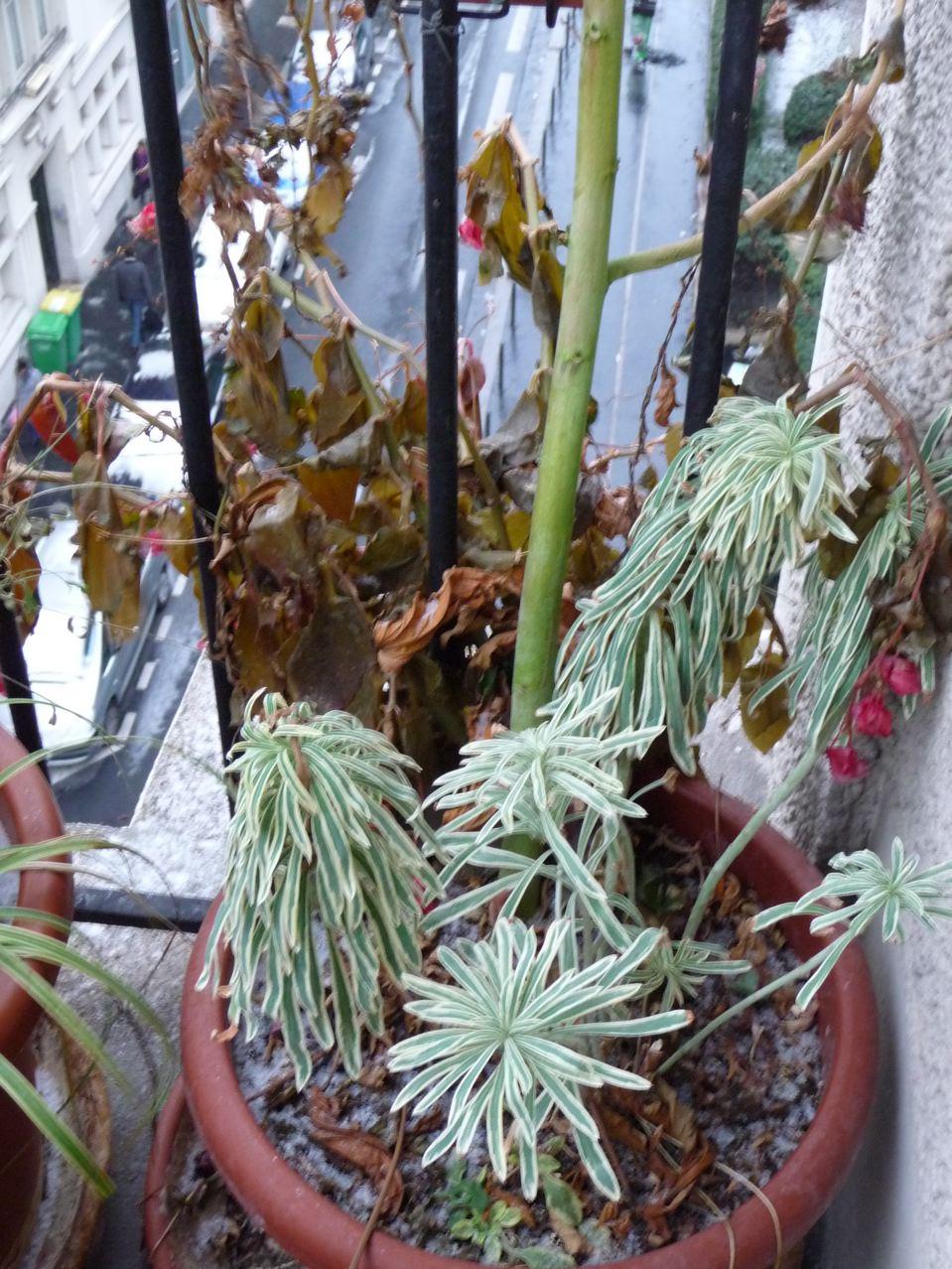 Les dégâts du gel sur les potées au balcon