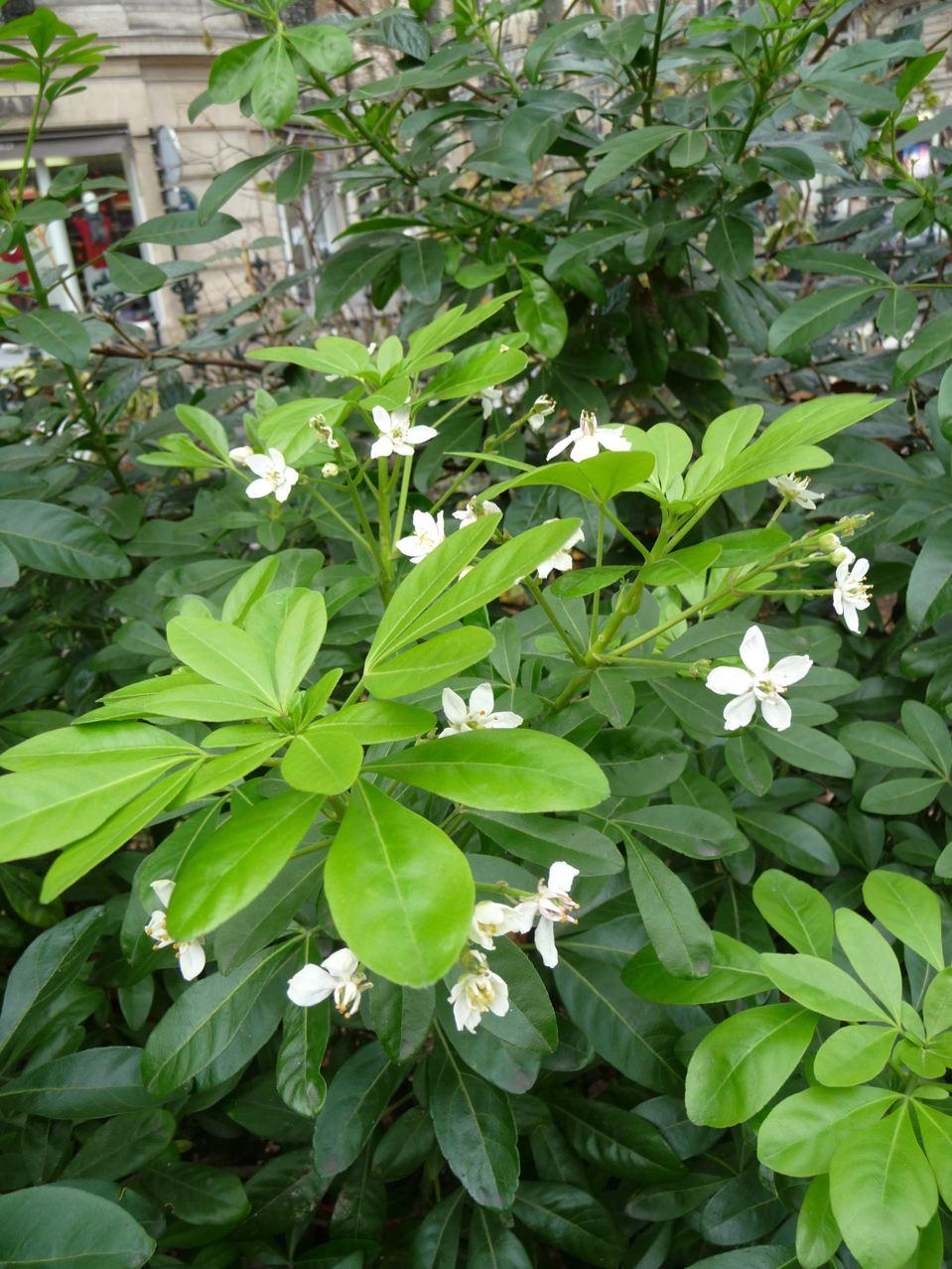 Arbuste persistant à floraison remontante