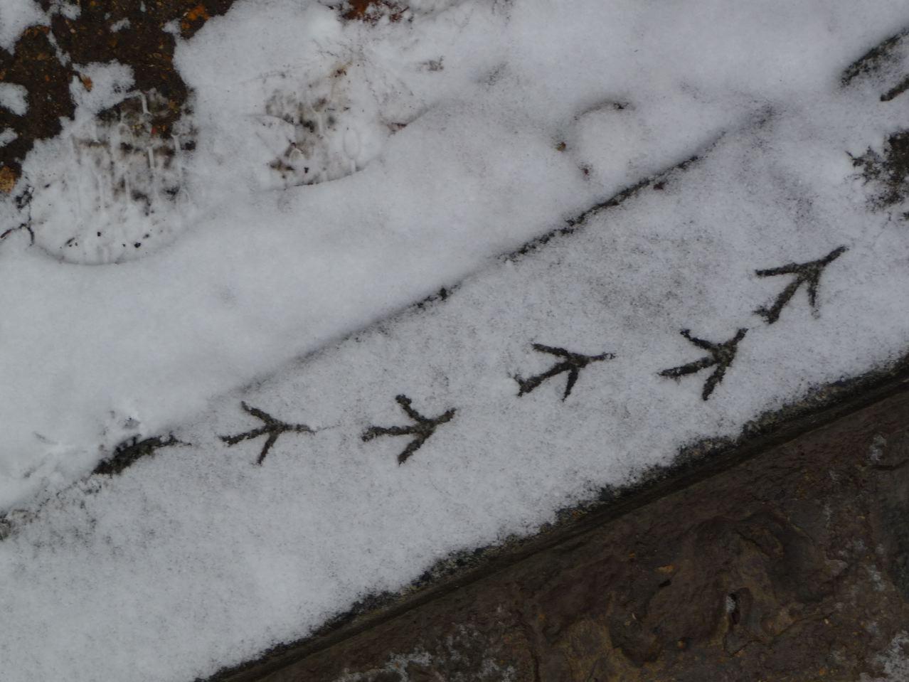 Traces d'animaux (oiseaux) dans la neige