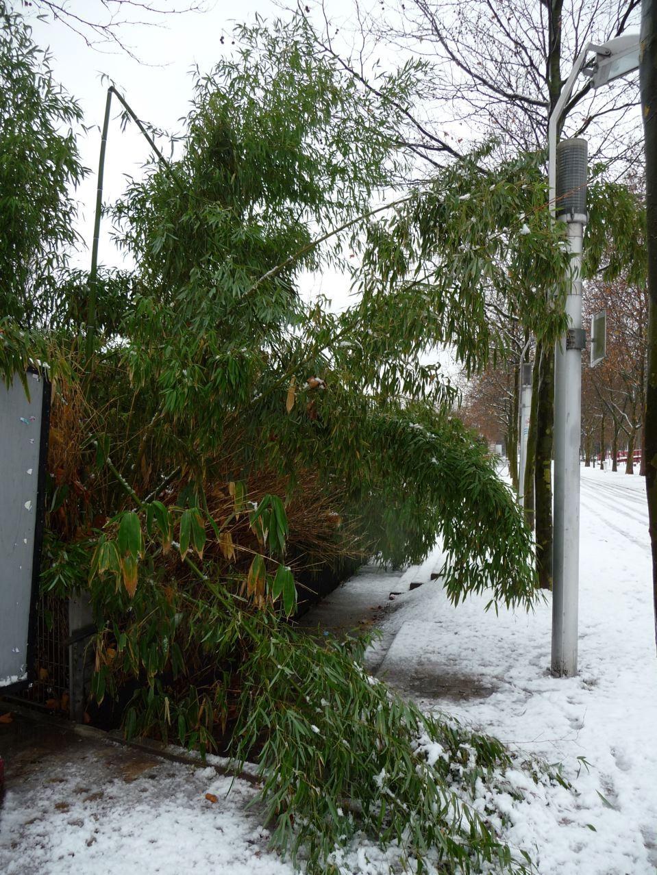 Dégâts dus à la neige sur les bambous