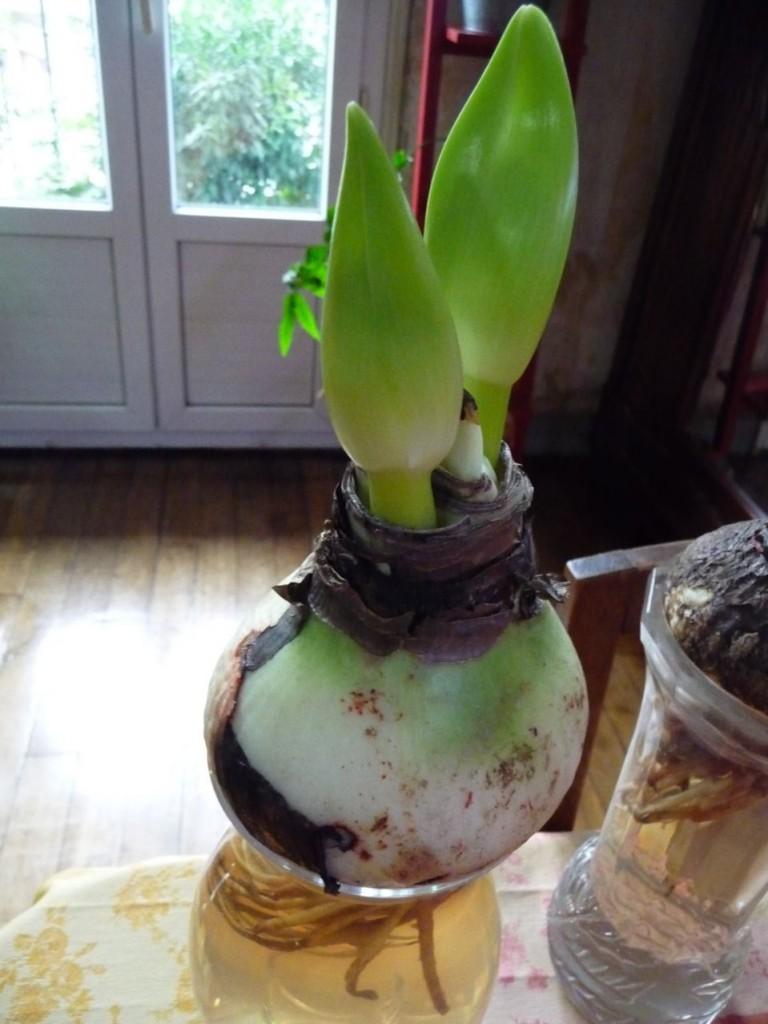 Bulbe forcé d'amaryllis cultivé en hydroponie